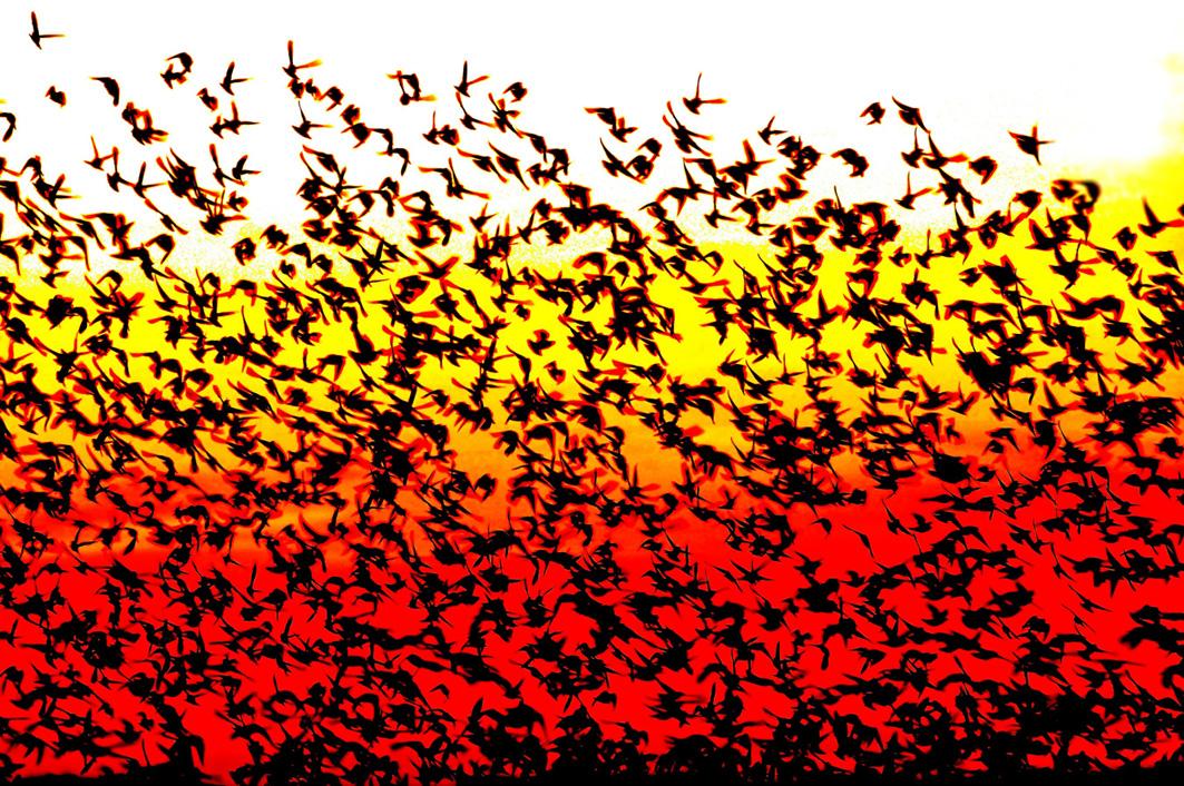 Vogelschwarm im Wattenmeer Fotograf Bjørn Thunæs