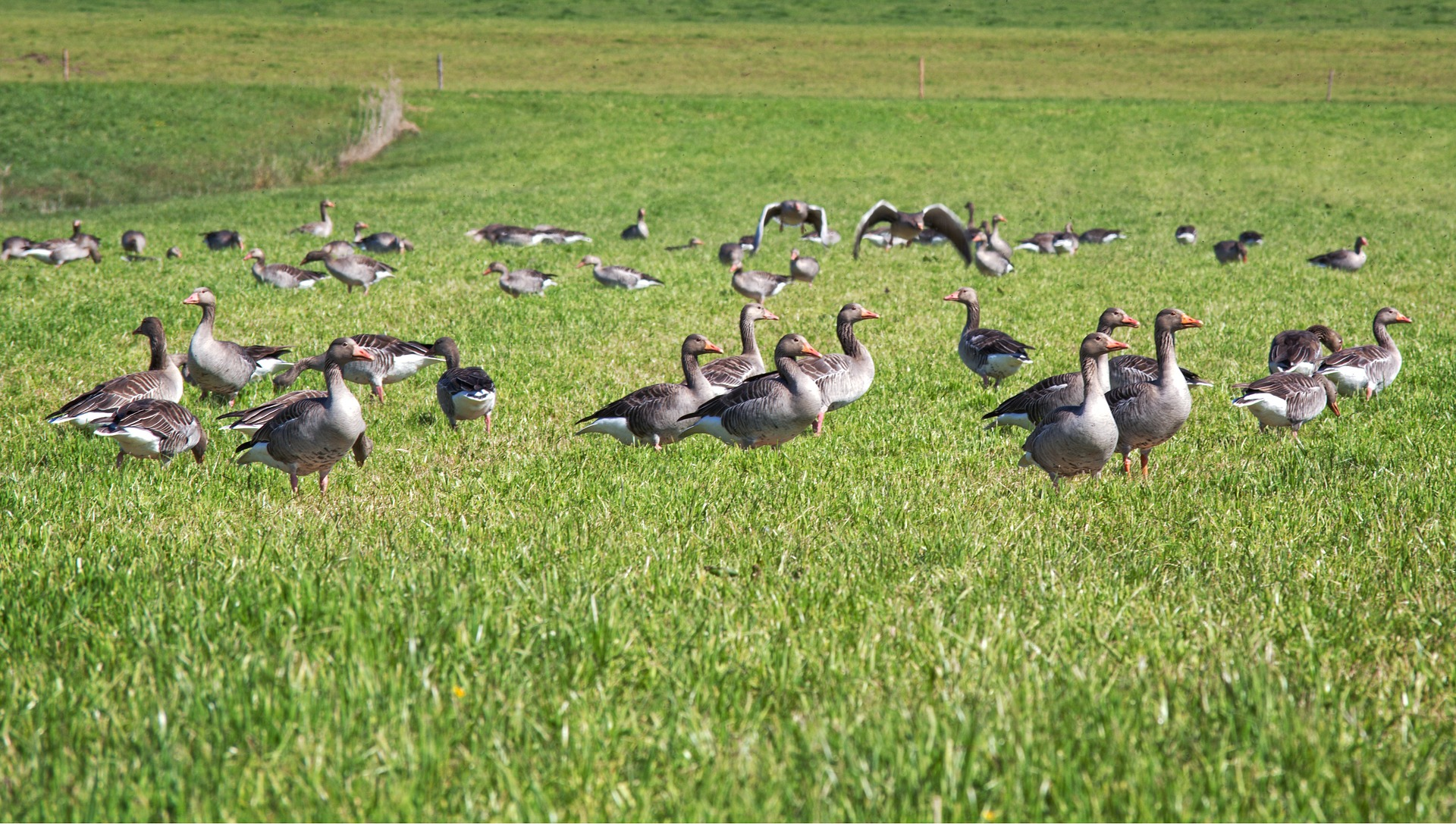 grey geese 1379435 1920