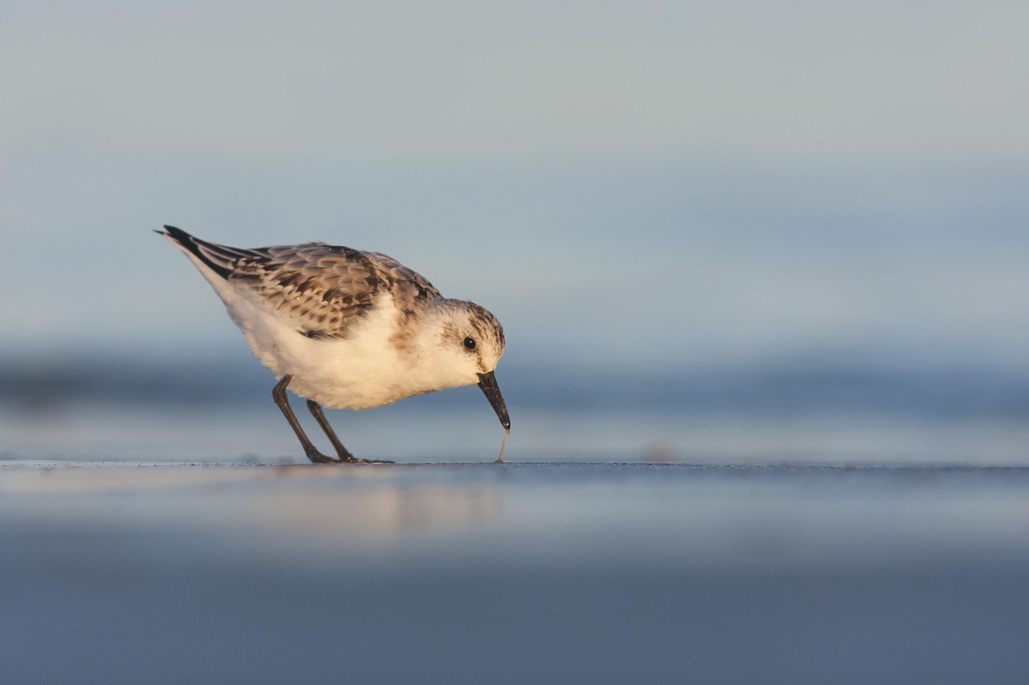 """Der Sanderling gehört zu den Vogelarten, die derzeit im Nationalpark zu sehen sind – und sicherlich auch bei vielen """"Vogelkiek""""-Veranstaltungen."""